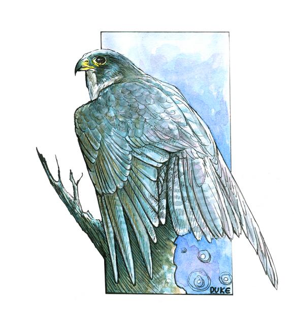 Peregrine Sketch